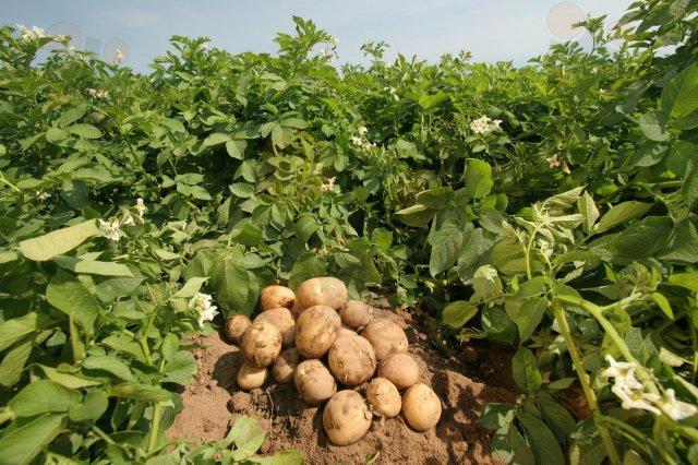 cultivo extensivo patata bilaketarekin bat datozen irudiak